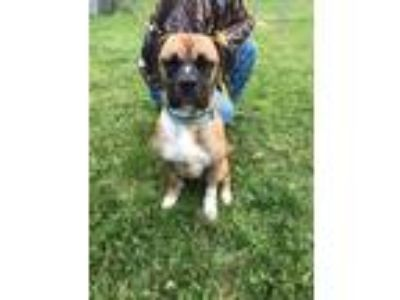 Adopt Dudley a Brindle - with White Boxer / Mixed dog in Reedsport