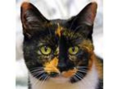 Adopt Miley a Calico or Dilute Calico Domestic Shorthair / Mixed (short coat)