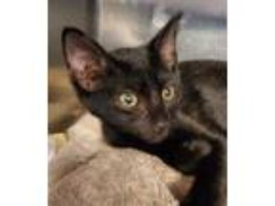 Adopt Swiss Miss a All Black Domestic Shorthair / Domestic Shorthair / Mixed cat
