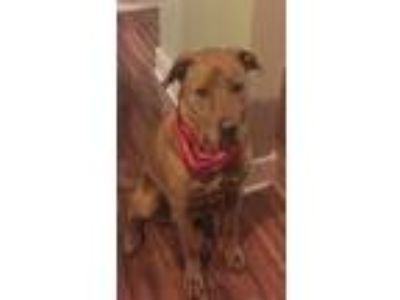 Adopt Cedar a Tan/Yellow/Fawn - with White American Pit Bull Terrier / Golden