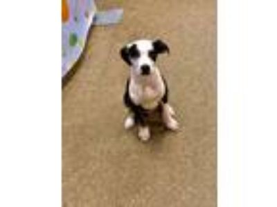 Adopt Oreo a Black - with White Boxer / American Staffordshire Terrier / Mixed