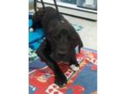 Adopt Haley a Black Labrador Retriever / Mixed dog in Lynnwood, WA (25520592)