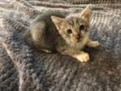 Adopt Paris a Gray or Blue Domestic Shorthair / Domestic Shorthair / Mixed cat
