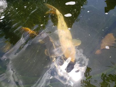 Large koi pond Fish Doitsu