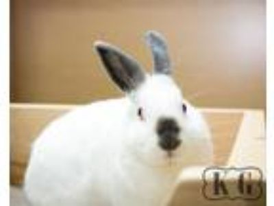 Adopt Olive a Californian / Mixed (short coat) rabbit in Pflugerville
