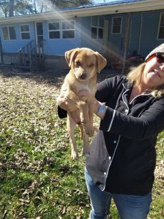 Part lab puppy can send you picture s of mother and dad