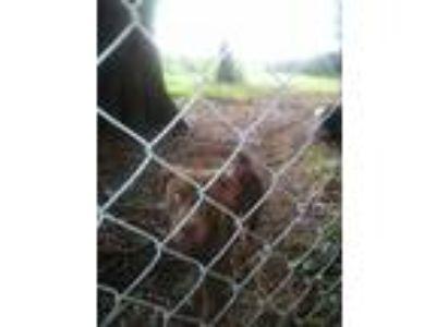 Adopt Dino a Red/Golden/Orange/Chestnut American Pit Bull Terrier / Labrador
