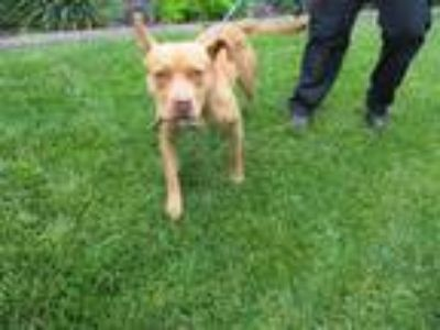 Adopt STORMY a Staffordshire Bull Terrier / Mixed dog in Lindsay, CA (25295083)