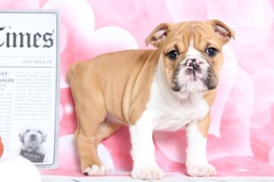 Bulldog PUPPY FOR SALE ADN-70525 - Roxie Sweetest Female AKC English Bulldog Puppy