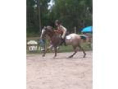 Great all around Appaloosa Gelding