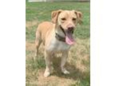 Adopt Max a Tan/Yellow/Fawn - with White Basset Hound / Mixed dog in Waldorf