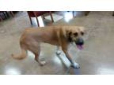 Adopt Stelly a Great Pyrenees, Shepherd