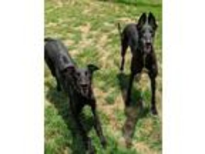 Adopt Cat and Jimmy a Black Greyhound / Mixed dog in Randleman, NC (25465412)