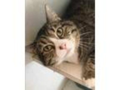Adopt Sugarfire a Brown or Chocolate Domestic Shorthair / Domestic Shorthair /