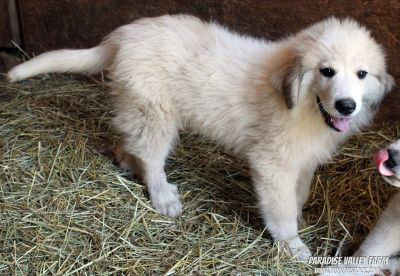 Female Great Pyrenees Dogs $250 off!