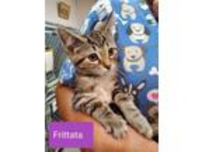 Adopt more kittens a American Shorthair