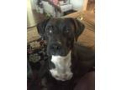 Adopt Scout a Black Boxer / Labrador Retriever / Mixed dog in New Orleans