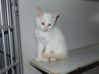 Adopt Rose a Siamese, Domestic Short Hair