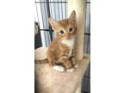 Adopt Finn a Orange or Red (Mostly) Domestic Shorthair (short coat) cat in
