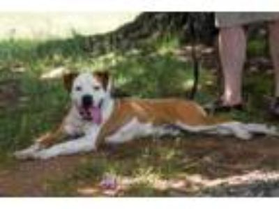 Adopt Hauser- At the Shelter a Boxer, Pit Bull Terrier