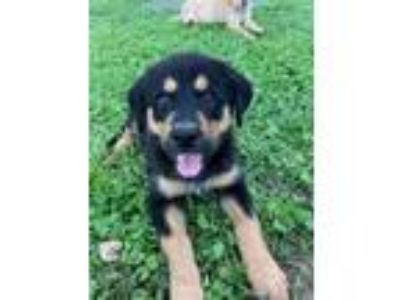 Adopt Soccer Pup Megan a Black - with Tan, Yellow or Fawn Shepherd (Unknown
