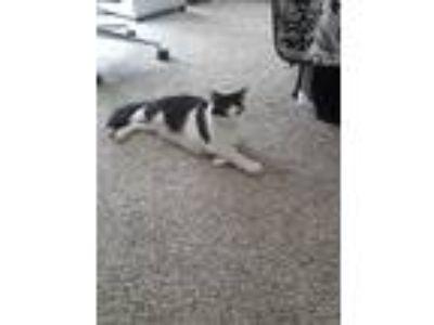 Adopt Gary a Black & White or Tuxedo American Curl cat in Sugar Land