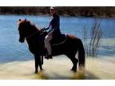 Experienced Show Horse and Trail Horse