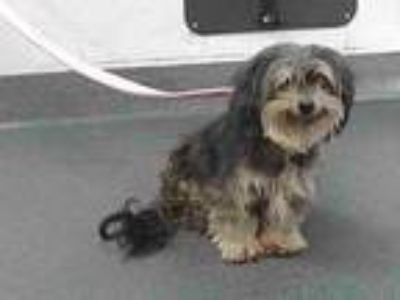 Adopt 19-22418 a Yorkshire Terrier