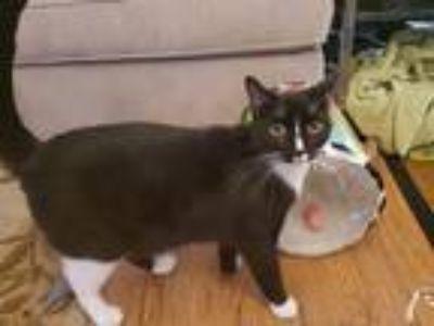 Adopt Freeway a Black & White or Tuxedo Domestic Longhair cat in Lake Worth