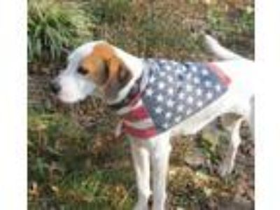 Adopt Lacey a Pointer, Hound