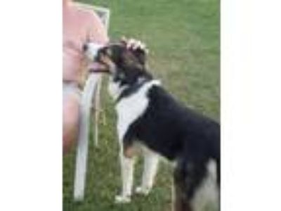 Adopt luke a Border Collie