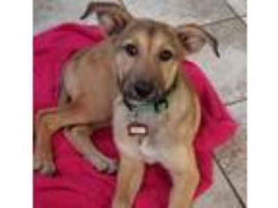 Adopt Dolly SH a Shepherd