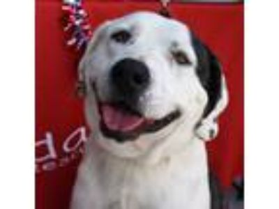 Adopt Roman a White - with Black Great Pyrenees / Mixed Breed (Medium) dog in