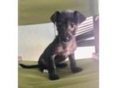 Adopt Mini a Black - with Gray or Silver Terrier (Unknown Type
