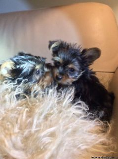 Yorkshire terrier s, dad is akc, registered,375.00
