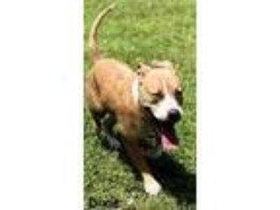 Adopt DIXIE a Tan/Yellow/Fawn American Pit Bull Terrier / Mixed dog in Palm