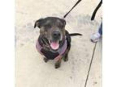 Adopt Pepper a Staffordshire Bull Terrier