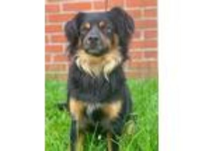 Adopt Bear a Black Spaniel (Unknown Type) / Mixed dog in Chester Springs