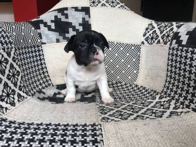 French Bulldog PUPPY FOR SALE ADN-98525 - French Bulldog Puppy Female
