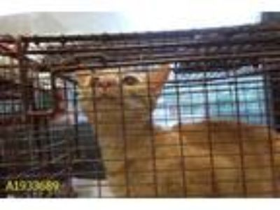 Adopt SIMBA a Orange or Red Domestic Shorthair / Mixed (short coat) cat in West