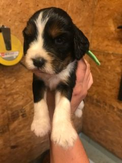 English Springer Spaniel PUPPY FOR SALE ADN-100714 - ENGLISH SPRINGER SPANIELS