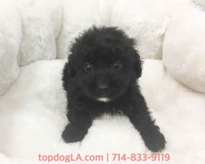 Yorkshire Terrier-Poodle (Toy) Mix PUPPY FOR SALE ADN-76735 - Yorkypoo Male Onix