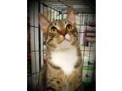 Adopt Johnny a Domestic Short Hair, Tabby