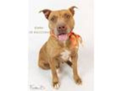 Adopt Dog a Red/Golden/Orange/Chestnut - with White American Pit Bull Terrier /