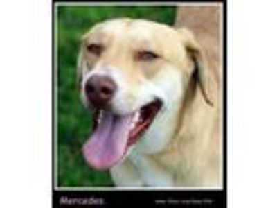 Adopt Mercedes a Tan/Yellow/Fawn Retriever (Unknown Type) / Mixed dog in