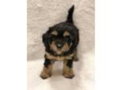 Adopt Calvin a Black - with Tan, Yellow or Fawn Poodle (Toy or Tea Cup) /
