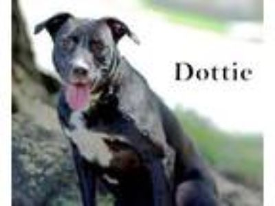 Adopt DOTTIE a Labrador Retriever