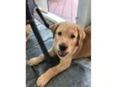 Adopt Maverick a Red/Golden/Orange/Chestnut Labrador Retriever / Mixed dog in