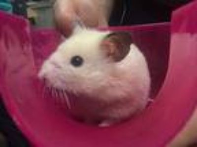 Adopt Sandy a Hamster small animal in Portland, OR (25580394)