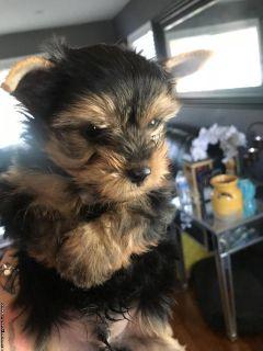 AKC Yorky puppies